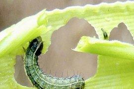 Serangan ulat grayak jagung di Kalbar masih bisa dikendalikan