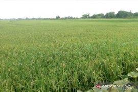 Ulat penggerek batang serang padi petani di Penajam