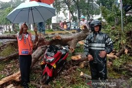 Satu pengendara sepeda motor kritis tertimpa pohon di Medan
