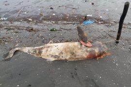 Kematian ikan lumba lumba di perairan Kwala Besar Langkat perlu diusut tuntas