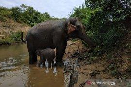 Gajah melahirkan di Aceh Barat