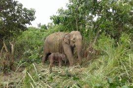 Gajah jinak di Aceh lahirkan bayi kedua
