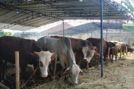 Wow, sapi dari Sukabumi diminati pejabat hingga politisi