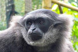 """Owa Jawa """"Bali Zoo"""" dilepasliarkan ke CA Situ Patengan"""