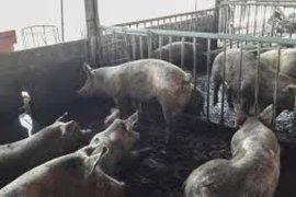 Demam babi, Yunani larang impor daging babi Bulgaria
