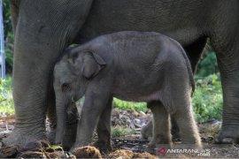 Pasca melahirkan, induk dan anak gajah tumbuh sehat