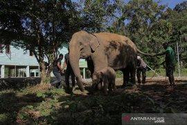 Perawatan gajah pasca melahirkan