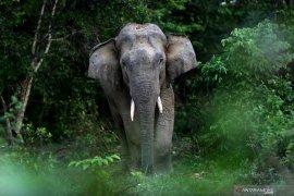 Puluhan gajah liar kembali rusak kebun di Aceh Jaya