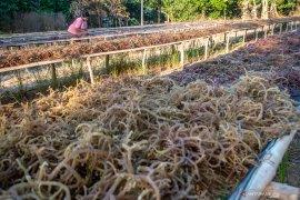 Usaha budidaya rumput laut di Penajam Paser Utara  terkendala pemasaran