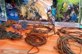 BKSDA sebut jerat pemburu picu kepunahan harimau Sumatera