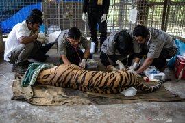 Warga Sumsel tewas diterkam harimau di hutan Riau