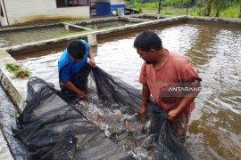 Konservasi Ikan Jurung Anton butuh atensi Tambang Emas Martabe