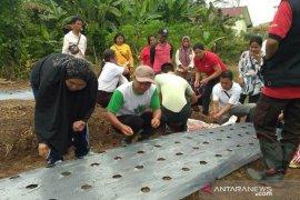 Polbangtan Medan kenalkan budidaya bawang - lada di perbatasan Indonesia - Malaysia
