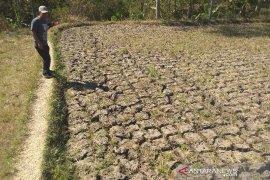Puluhan hektare sawah di Dharmasraya dipastikan gagal panen