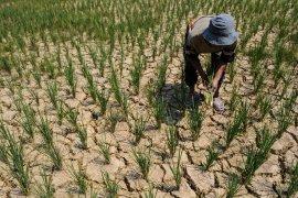 Akibat kemarau, petani Lebak beralih kembangkan tanaman sayuran