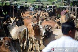 Harga sapi di Aceh Besar jelang qurban capai Rp34 juta