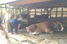 Tim kesehatan hewan Jambi sisir ternak dan berikan label sehat