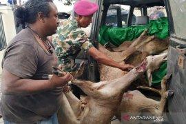 TNI AL ungkap kasus perburuan rusa di Sape