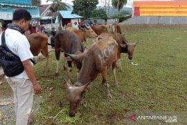 Penjualan hewan kurban di Ambon masih sepi
