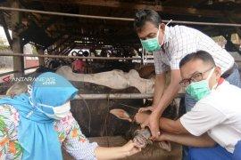 Dinas Pertanian Tapanuli Selatan periksa kesehatan hewan kurban