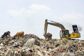 Bahaya Sapi Pemakan Sampah