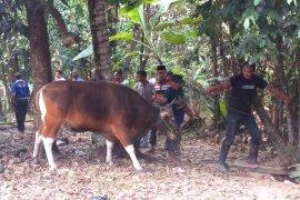 Warga Sukakarya antusias saksikan penyembelihan hewan kurban (video)