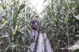 Virus bulai serang jagung petani Sariak Pasaman Barat