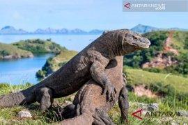 Komodo, dan Aksi perburuan liar serta ancaman terhadap kepunahannya