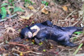 Seekor beruang madu mati terjerat di area kebun warga