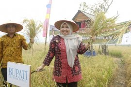 Bupati Masnah panen raya di Desa Kemingking Luar