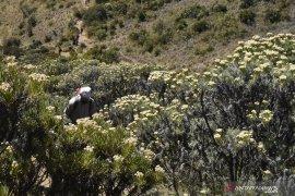 Larangan petik edelweis Gunung Lawu