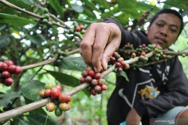 Penanaman kopi secara besar-besaran tak untungkan petani