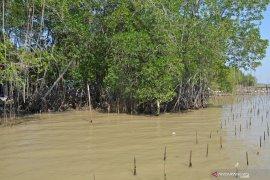 Ratusan ribu tanaman mangrove tercemar minyak mentah
