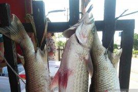 DKP Mukomuko bentuk kelompok konservasi ikan mikih