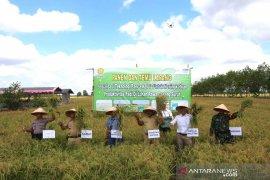Petani nikmati hasil panen padi unggul dua kali setahun