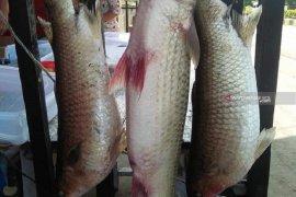 Mukomuko berupaya melestarikan ikan mikih