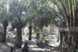 Pemkab Mukomuko usulkan peremajaan 397,64 hektare sawit petani