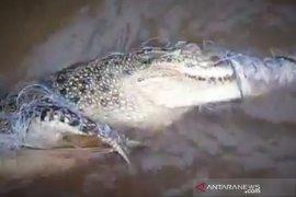 Warga dikagetkan dengan buaya yang terlilit jaring ikan