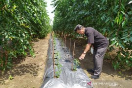 TPL dorong petani eucalyptus kembangkan tanaman tumpang sari