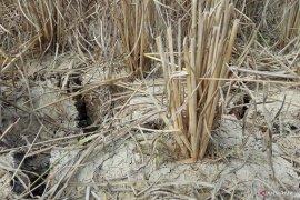 Ratusan hektar  sawah  di Mesuji   kekeringan Page 4 Small