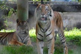 BKSDA pasang kamera pengintai demi memastikan jejak harimau