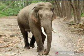BKSDA: Tiga ekor gajah Sumatera resahkan warga Batanghari