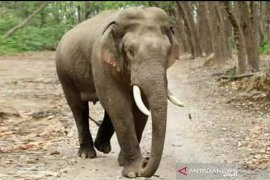 BBKSDA Riau pantau gajah sumatera liar yang keluar habitat akibat karhutla