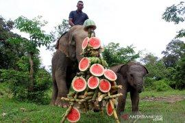 Perayaan kelahiran gajah jinak di Aceh Barat