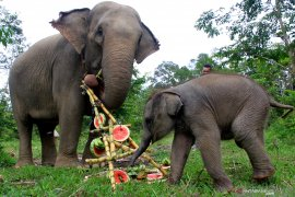 Ekowisata gajah liar diharap dapat terlaksana di Bener Meriah