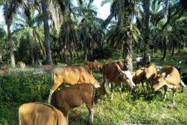 Pemkab Paser Salurkan 117 ekor sapi Kepada Peternak