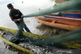 Dinas Perikanan Aceh Tengah teliti budidaya ikan depik di luar Danau Laut Tawar