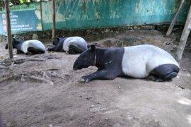 Tapir terjebak kubangan dititipkan sementara di THPS