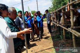 Kementan apresiasi Pergub Integrasi Sapi-Sawit di Bangka Belitung