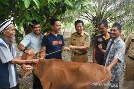 Pemkab Bangka Tengah salurkan 25 ekor induk sapi